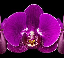 Crown of Orchids by Mary Ann  Lewis