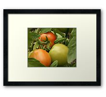 Ripening On The Vine Framed Print