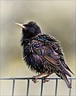 Starling by Chris Lord