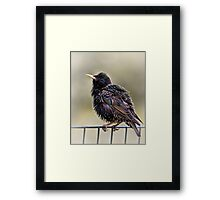 Starling Framed Print