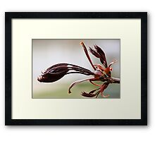 Leaf buds on a Red Maple Tree - South Haven, MI Framed Print