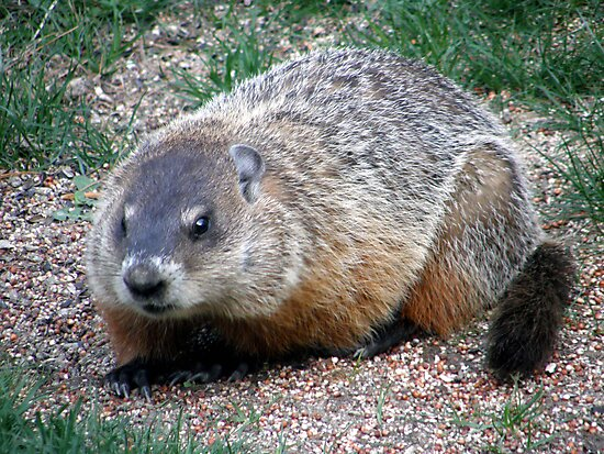 Chuck, the Groundhog by Len Bomba