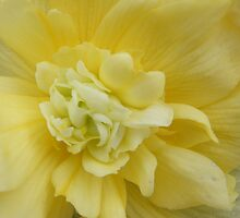 Softest Yellow by pat oubridge