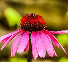 Purple Coneflower - Single by mcstory