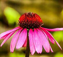 Purple Coneflower - Single by mcstory
