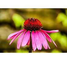 Purple Coneflower - Single Photographic Print