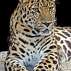 Critically Endangered Amur Leopard by Robyn Carter