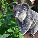 Female Koala by digitaldawn