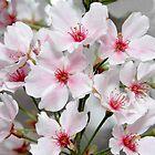 Blooming Yoshinos by Glenn Grossman