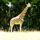 Giraffe on Fire Island by Jamie Tucker