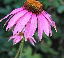 Echinacea by jacqi