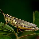 Two-Striped Grasshopper by Holly Cawfield