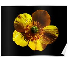 Buttercup On Black Poster
