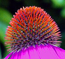 Coneflower Centre by jacqi