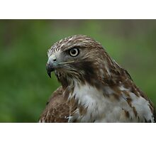 red-tail portrait Photographic Print