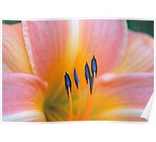 Pink and Yellow Daylilly Poster