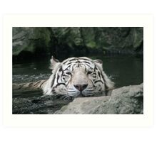 Bengal Tiger in Water  - Panthera tigris tigris Art Print