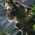 Bennett&#x27;s Tree Kangaroo  - Dendrolagus bennettianus by Jo  McCarthy