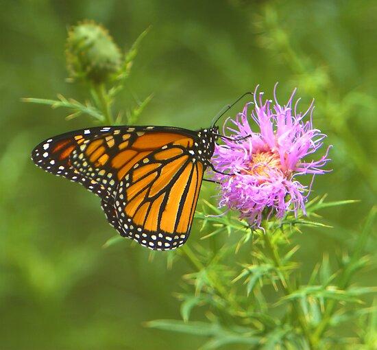 Monarch by Lisa G. Putman