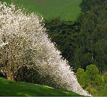 Gippsland Blossoms  by Bev Pascoe