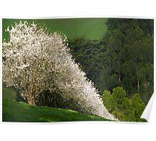 Gippsland Blossoms  Poster