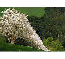 Gippsland Blossoms  Photographic Print