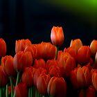 Tulip Splash by Sue Morgan