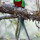 Resplendent Quetzal by Jim Cumming