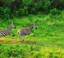 Zebra by Skip Hunt
