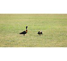 Australian Mountain Ducks Photographic Print