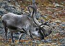 Reindeer II by Steve Bulford