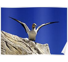 Cape Gannet - South Africa Poster