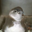 Baby Penguin by Kristin Hamm