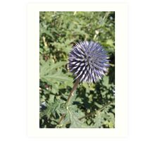Purple Globe Thistle Echinops Art Print