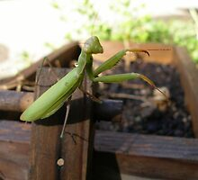 Praying Mantis-Here's Looking at Ya by Sheryl Solano