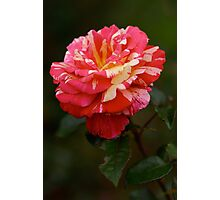 Rose from Rambures Photographic Print