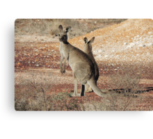 Kangaroos - White Cliffs Canvas Print