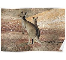 Kangaroos - White Cliffs Poster