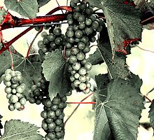 Vintage Grapes by Steve Keefer
