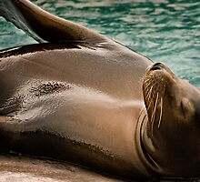 Sea Lion Sunbathing by carlhirst