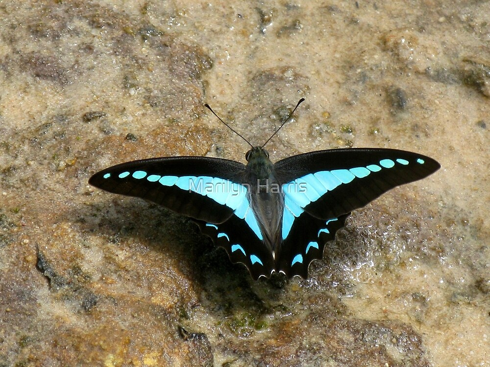 Blue Triangle Butterfly (Graphium sarpedon choredon) by Marilyn Harris