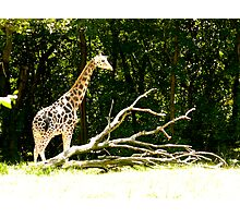 giraffe with branches Photographic Print