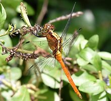 Dragon Fly by Josette Halls
