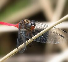 Cool Dragon fly 0001 by kevin chippindall