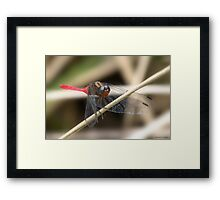 Cool Dragon fly 0001 Framed Print