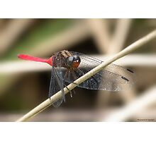 Cool Dragon fly 0001 Photographic Print