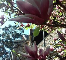 Magnolias in Spring against a blue sky by soniamattson