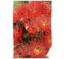 Red Eucalyptus flowers Poster