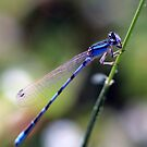 Damselfly by Debbie Sickler
