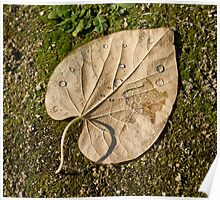 leaf with drops Poster
